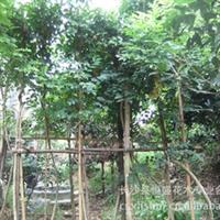 供应优质苗木藤本植物紫藤