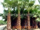 新京杜氏  供应棕榈 棕榈苗  唐棕  唐棕榈 山棕 棕耙树