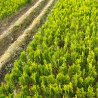 供应绿化苗木 灌木 洒金柏  洒金柏球