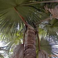 供应湖南棕榈,棕树,棕榈价格,棕榈报价