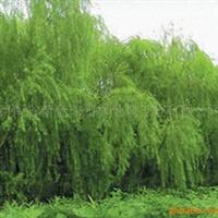 供应绿化苗木1-6cn垂柳 馒头柳 龙爪柳 河南垂柳
