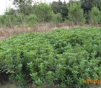 大量供应绿化苗木 海桐球 海棠球 工程苗