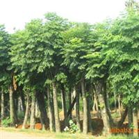 供应绿化苗木 栾树 移栽栾树 再生栾树 栾树工程苗 栾树小苗