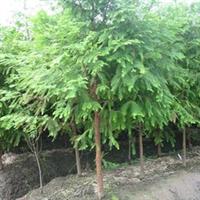 大量供应绿化苗木 水杉 乔木 工程苗 行道树