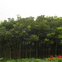 大量供应绿化苗木 无患子 移栽无患子