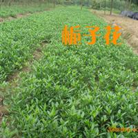 供应绿化苗木 灌木 栀子花 海枝子 小叶枝子 大叶枝子
