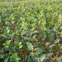 供应绿化苗木,色块苗,茶梅,茶梅小苗,扦插苗