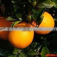供应桔子树苗-砂糖桔、南丰蜜桔、日南、文旦、胡柚等桔树苗