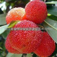 供应早熟杨梅苗、杨梅树苗-东魁杨梅、早熟黑炭等果树