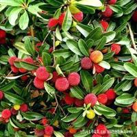 优价供应果树苗木荸荠杨梅苗