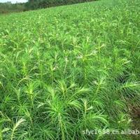 大量优价供应杉木10公分以上小苗