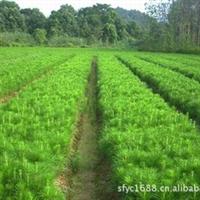 优价供应15公分以上湿地松国外松小苗