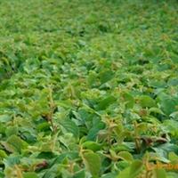 大量供应猕猴桃.。粘木苗和嫁接苗.柑桔苗.....