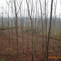 供应大小规格的栾树