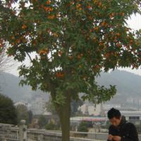 湖南湘西供应金弹子接果树