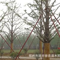 银杏树供应10-40公分银杏树苗木 诚意致电,非诚勿扰