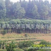 宜都华创苗圃常年大量供应,绿化苗木,黄山栾树(移栽类)