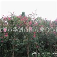 大量供应湖北紫薇苗木、百日红、绿化苗木、湖北苗木、苗木