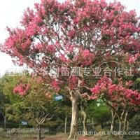供应湖北精品紫薇树、百日红、海棠红等精品苗木、绿化苗木
