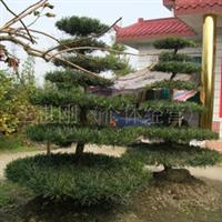 出售工程绿化苗木造型罗汉松盆景树桩、 盆景出售