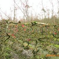 出售私家花园、工程绿化苗木灌木贴梗海棠