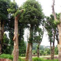 供应湖南苗木乔木,各种规格香樟树 树形优美
