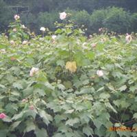 湖南绿化苗木灌木一年生多头的木芙蓉