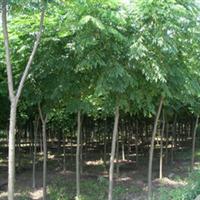 大量提供优质栾树苗木、园林植物栾树、乔木栾树!