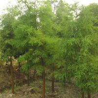 长期提供优质落羽杉苗木、园林植物落羽杉、乔木落羽杉!