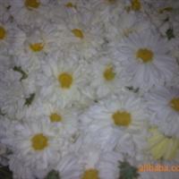 大量供应精品杭白菊(胎菊)