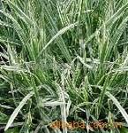 供应花叶燕麦冬、金叶女贞、红叶小檗