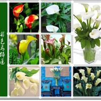 花卉!-彩色马蹄莲种球-颜色齐全,特价