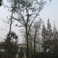 本公司长期供应不同大小的皂角树,如有需要请予联系