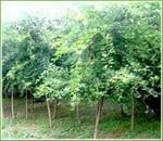 供应绿化苗木落叶乔木五角枫