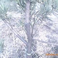 4年罗汉松苗木
