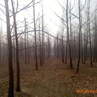 速生法桐:老法桐;2.5~3.5米有分枝、树形优、不偏冠