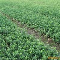 绿化苗木   供应大叶黄杨