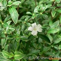 绿化苗木 供应六月雪