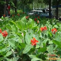 绿化苗木 厂家 直销 红花 黄花 彩叶 美人蕉