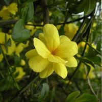 特价迎春花 苗 金腰带-串串金-大叶迎春-常绿藤状灌木-迎春柳