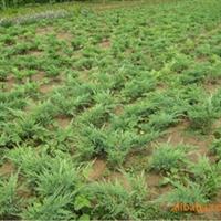 供应20-50长铺地柏/沙地柏/地柏小苗/各种绿化苗