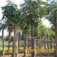 供应工程用苗8-15公分黄山栾树