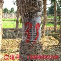 大量供应8-12公分全冠栾树