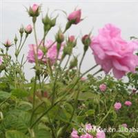 供应蒸馏千叶玫瑰花纯露用腌制保鲜花/百叶玫瑰纯露/格拉斯玫瑰