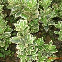 供应绿化苗木-金边黄杨