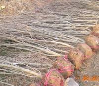 供应绿化苗木 木槿 红王子锦带 玉兰 规格齐全 价格实惠