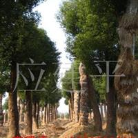 供应骨架香樟,多头香樟,实生香樟,栾树等苗木