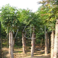 供应截杆黄山栾树