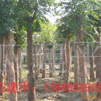 供应胸径10-20cm黄山栾树
