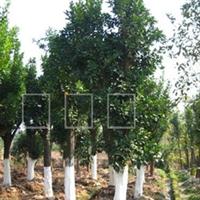 【大量供应】香泡树